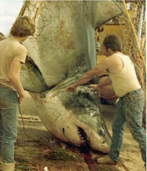 p-e-i-shark