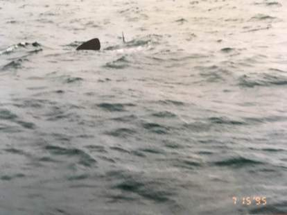 Basking shark in the outer Halifax Harbour.